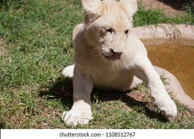 White lioness drank water in the mall pond and wipes his paw face, Zoo, Zimbabwe, african animal, sunny day.