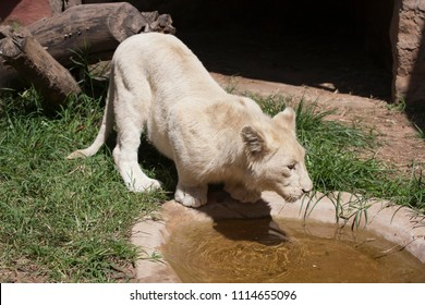 White lioness is drinking water in the mall pond, Zoo, Zimbabwe, african animal, sunny day.