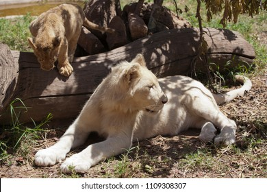 White lioness and lion cub rest in the shade of a tree, Zoo, Zimbabwe, african animal, sunny day.