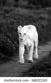 A white lioness looking intensely with her blue eyes in this beautiful close up photo of her face. This was taken at Pumba game reserve,eastern cape,south africa