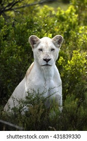 A white lioness looking intensely with her blue eyes in this beautiful close up photo.This was taken in the eastern cape,south africa