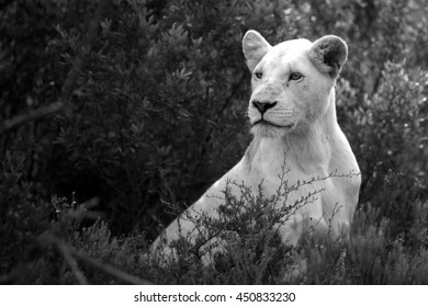 A white lioness looking intensely with her blue eyes in this beautiful photo. This was taken on safari in South Africa