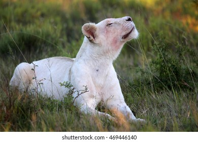 A white lioness looking intensely with her blue eyes in this beautiful close up photo of her face. This was taken at a game reserve,eastern cape,south africa
