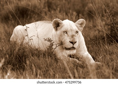 A white lioness looking intensely with her blue eyes in this beautiful close up photo of her face. This was taken in the eastern cape,south africa