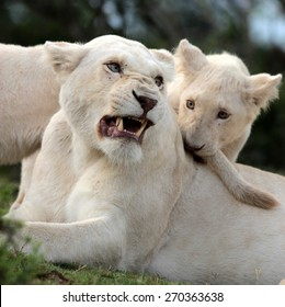 A white lioness shares a tender loving moment with one of the young cute baby white lion cubs. Taken on safari in South Africa, Eastern Cape