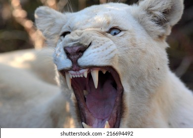 A white lioness shows off her teeth in this aggressive pose.