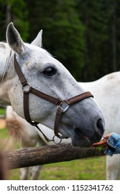 White Lipizzan Horse being fed grass by a young in Stable, unrecognizable, Lipizzan horses are a rare breed and most famous in Viennese Spanish Riding School and Stud Farm in Lipica, Slovenia