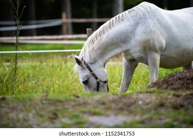 White Lipizzan Horse Grazing in Stable, Lipizzan horses are a rare breed and most famous in Viennese Spanish Riding School and Stud Farm in Lipica, Slovenia