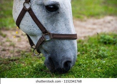 White Lipizzan Horse Grazing in Stable, close up, Lipizzan horses are a rare breed and most famous in Viennese Spanish Riding School and Stud Farm in Lipica, Slovenia