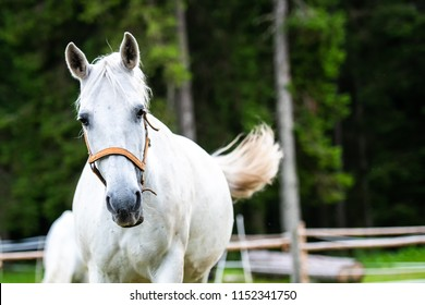 White Lipizzan Horse running, galloping in Stable, Lipizzan horses are a rare breed and most famous in Viennese Spanish Riding School and Stud Farm in Lipica, Slovenia