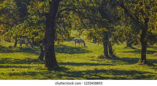 White lipizzan horses on a pasture between the trees. Focus on the tree trunk. Sunny autumn weather.