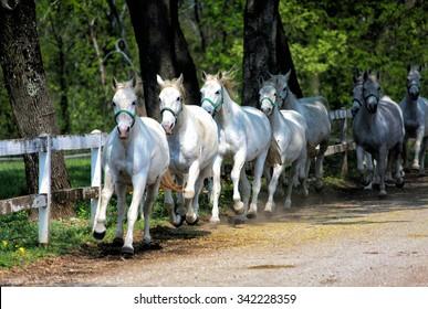 White Lipizzan Horses running