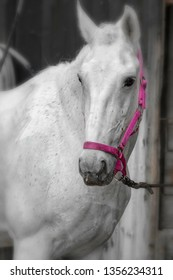 White Lipizzaner mare with pink halter