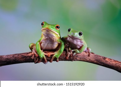White lipped tree frog and white australian tree frog on branch, tree frog on green leaves, animal closeup