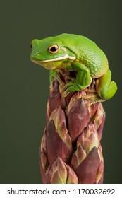 White Lipped Tree Frog (Litoria infrafrenata)