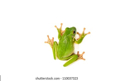 White Lipped Tree Frog  on a white background.