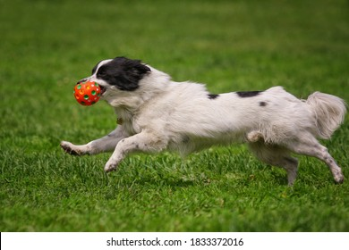 White little dog runs after a toy on the grass