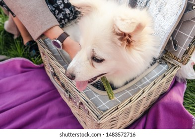 white little dog sitting in the picnic basket. having a picnic with a pet outside
