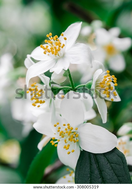 White Little Flowers in Spring