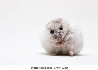 White little hamster on white background