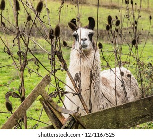 White Llama with black ears in a field looking through weeds