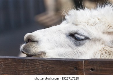White Llama - Close up photograph of white llama's head. Selective focus on the llama's features.