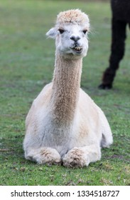 White llama ,Lama glama, portrait lying on a grass with smile and teeth looking at the camera.