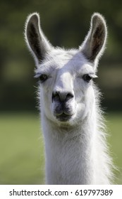 White llama (Lama glama) portrait. Focus on eyes.