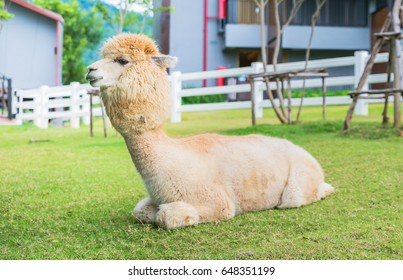 White Llamas or Alpaca (Vicugna pacos). animal concept.