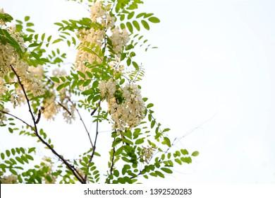 White locust flowers on the outdoor locust trees