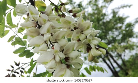White locust tree blossoms in the middle of the Great Plain in Hungary, famous for its excellent quality honey