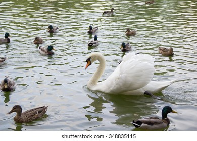 white lone swan, ducks and drakes floating in the lake