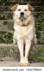 White long hair male dog sit on step and look in front for watch home, pet on old stone stairs on day