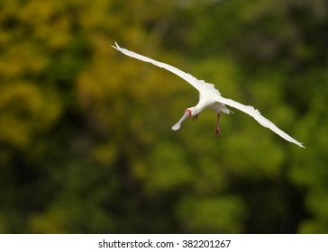 White, long legged wading bird,African Spoonbill, Platalea alba flying directly at camera with outstretched wings against blurred green trees in background. Tanzania, Africa.