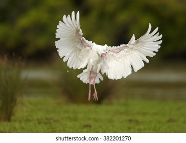 White, long legged wading bird,African Spoonbill, Platalea alba landing on green grassy riverbank with outstretched wings against blurred green background. Tanzania, Africa. Front view.