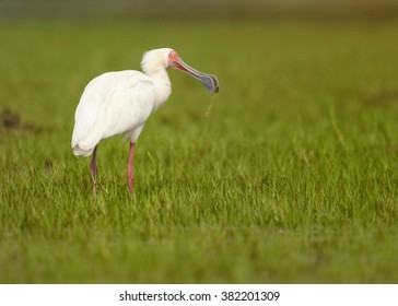 White, long legged wading bird,African Spoonbill, Platalea alba on the prowl on green grassy riverbank with prey in its beak.  Tanzania, Africa.
