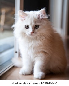 White long-haired pedigree kitten inside waiting at the door