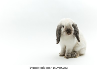 white lop bunny on white background.