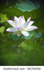 White Lotus, Lotus blossom