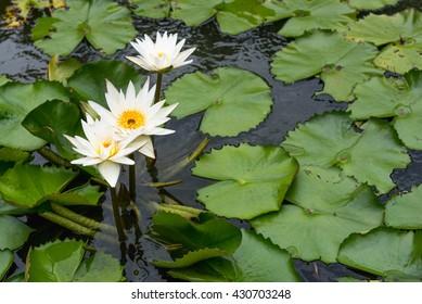 White Lotus Blossom  Flower IN Pond
