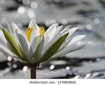 White lotus with bokeh background