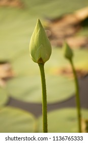 White Lotus bud in a pond