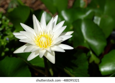 white lotus flower blooming in the garden