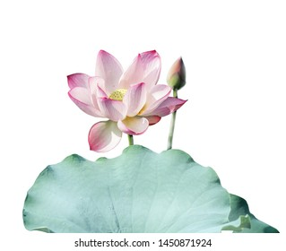 white lotus flower blooming isolated
