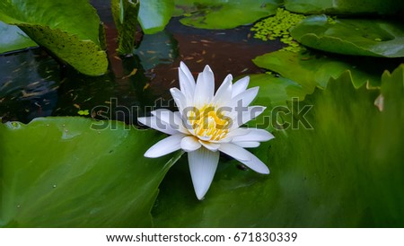 White Lotus Flower Blooming Wallpaper Background Stock Photo Edit