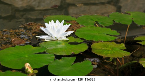 White Lotus Flower Floating on Surface of Pond