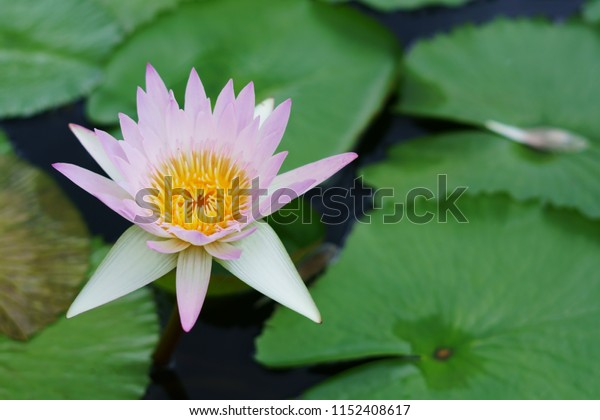 White lotus flower with green leaf.