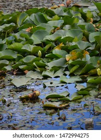 White lotus flower with green leaves floating on lake. Lotus lake in mountains Armenia. Lotus blossoms or water lily flowers blooming on pond. Beautiful reflection of lotos buds. White Nymphaea alba.
