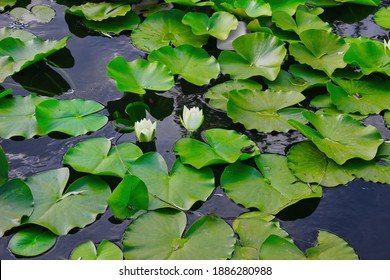 White lotus flower with green leaves floating on lake. Small frog