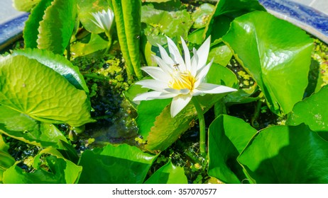white lotus flower and green leaves